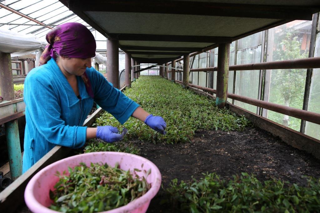 В теплицах махачкалинского Горзеленхоза выращивают около 100 видов цветов
