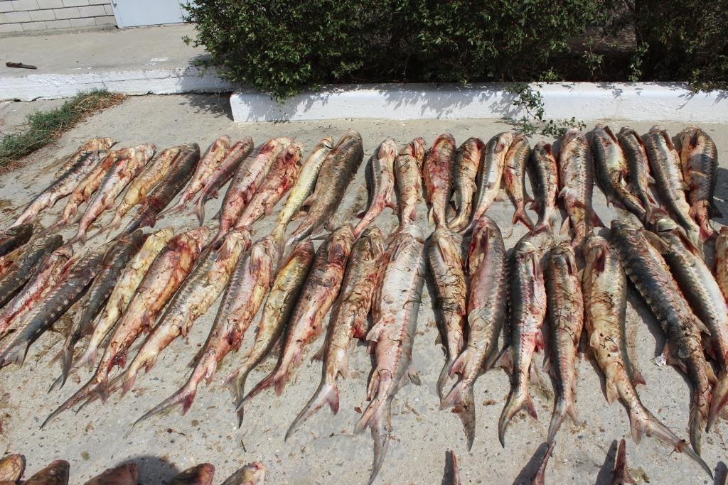 Около полутонны рыбы осетровых видов изъято пограничниками  в Дагестане
