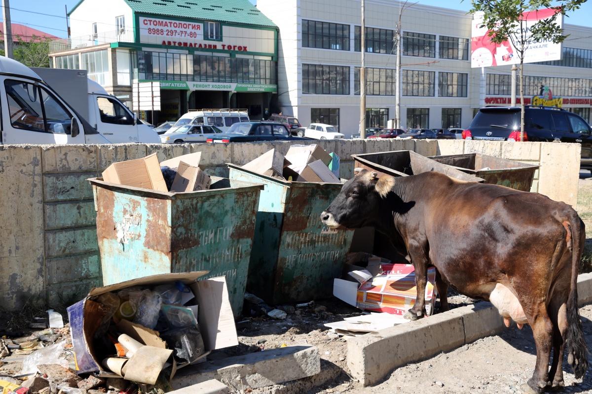 В Махачкале приступили к отлову крупного рогатого скота.