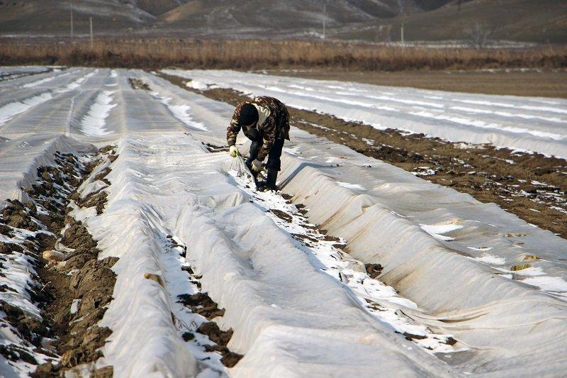 Пекинскую капусту на открытом грунте выращивает фермер в Дербентском районе Дагестана