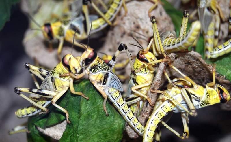 В Дагестане саранчу уничтожили на площади 62 тысячи гектаров