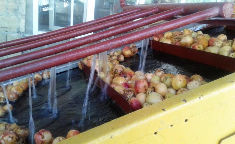 Дагестанские предприятия переработали более 1,5 тысяч тонн абрикосов