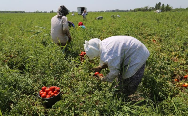Свыше 550 тысяч тонн овощей собрали аграрии Дагестана
