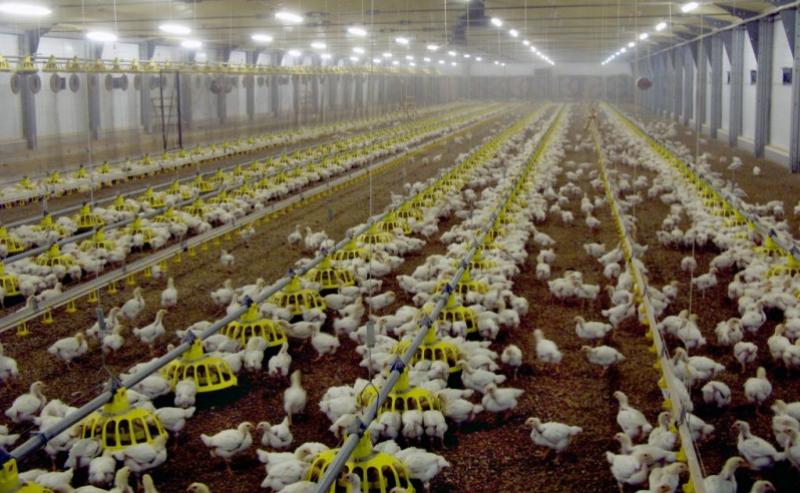 За полгода в Дагестане произвели 16,3 тысячи тонн мяса птицы