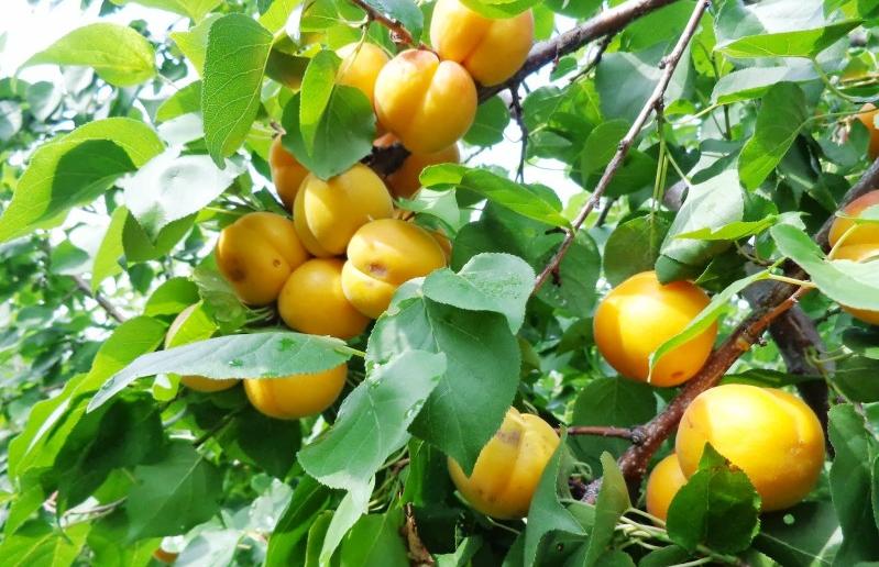 Более 800 тысяч тонн овощей собрали в Дагестане