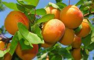В Ахтынском районе собрали 260 тонн абрикосов и 117 тонн персиков