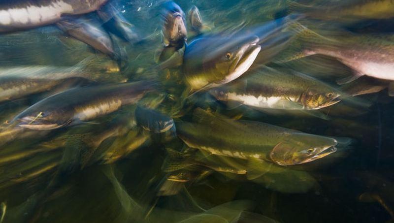 Более 143 миллионов мальков рыбы выпустили в дагестанские водоемы