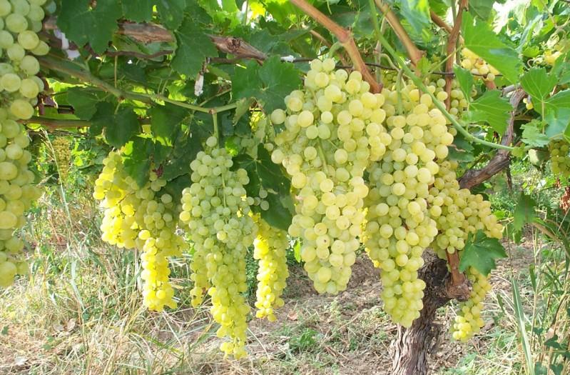 В Дагестане собрали 15 тысяч тонн винограда