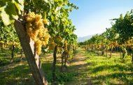 Эксперты: законопроект о поддержке отечественных виноградарей спасет эту отрасль в Дагестане