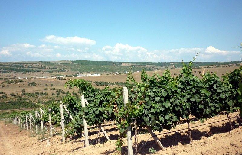 В Дербентском районе собрали около 53 тысяч тонн винограда