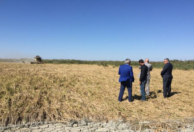 Площадь рисовых чеков в Дагестане к 2019 году вырастет на тысячу гектар