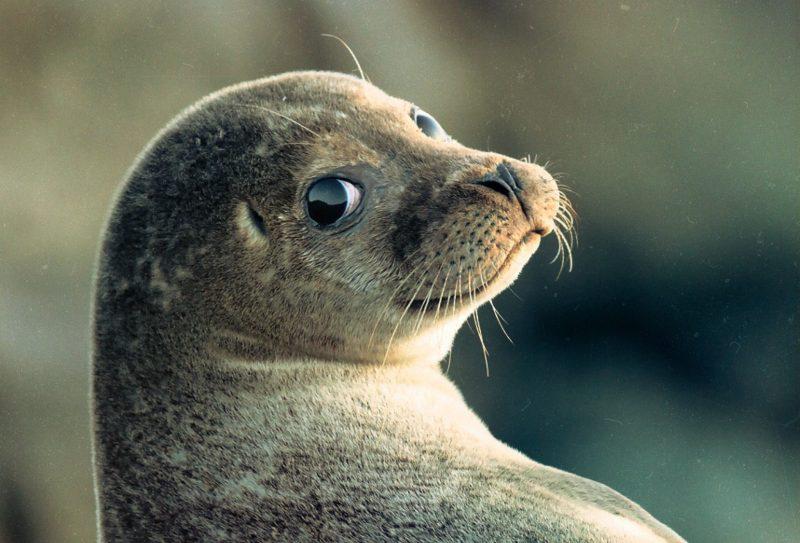 В Дагестане создадут центр по спасению каспийских тюленей