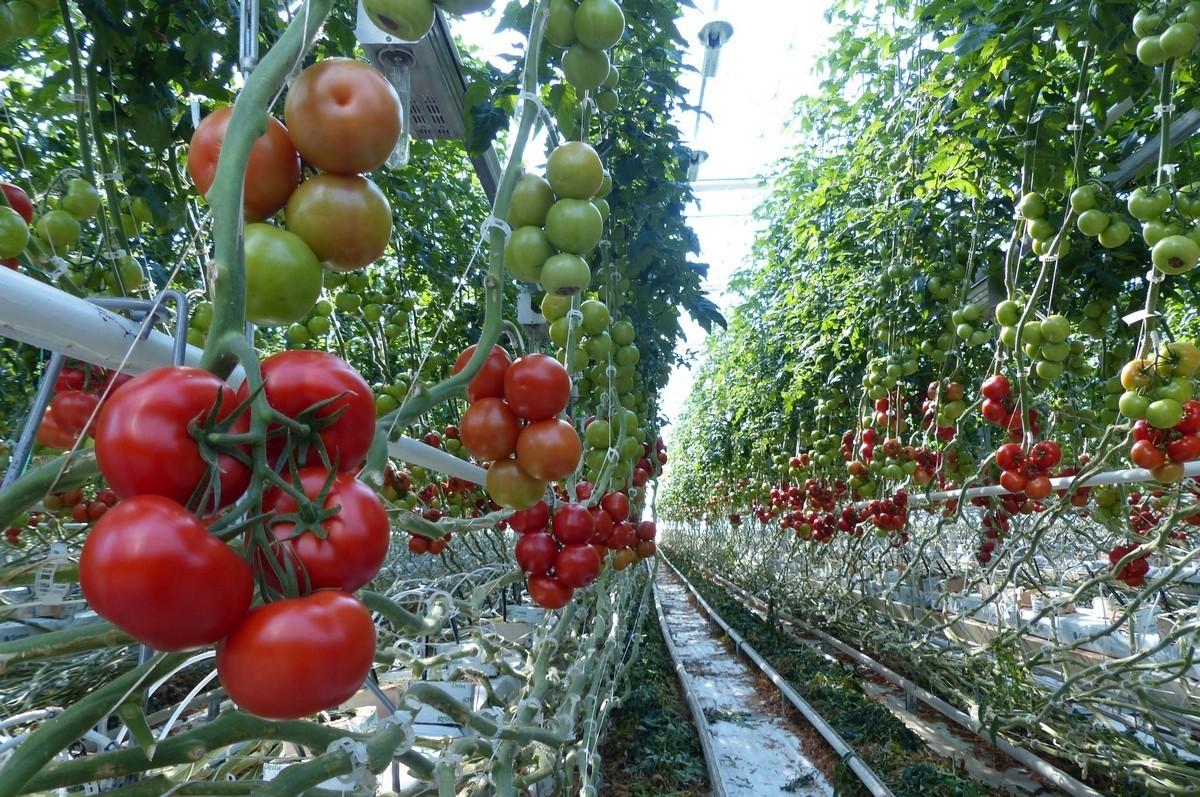 Около 40 гектаров теплиц построено в Дагестане в 2017 году
