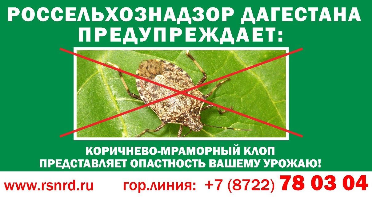 Дагестанское управление Россельхознадзора рассказало о вреде мраморного клопа
