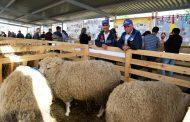 Дагестанские животноводы завоевали 21 медаль на выставке племенных овец и коз