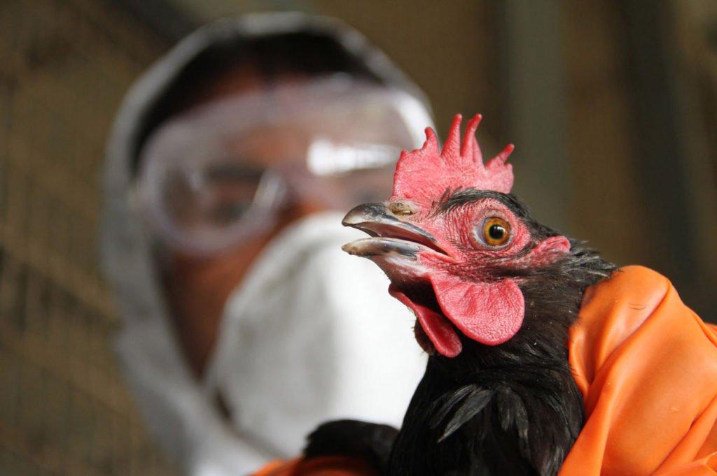 В Дагестан может быть занесен вирус гриппа птиц