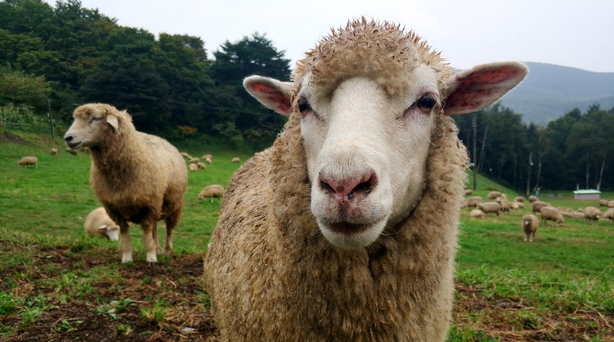 Конкурс на самую красивую овцу пройдет в Буйнакском районе