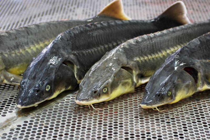 В Махачкале в третий раз пройдет фестиваль «Каспийская рыба»