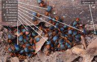 Жуки-бомбардиры ищут безопасности в многовидовых группах