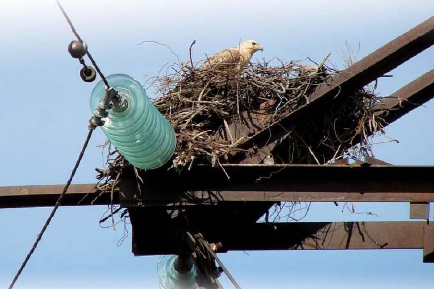 В Дагестане примут меры для предотвращения гибели краснокнижных птиц на ЛЭП