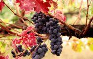 В 2018 году на виноградарство в Дагестане выделено более 580 млн рублей
