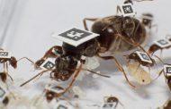 Инфицированные муравьи ограничивают контакты с сородичами