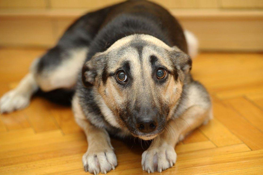 Ученые выяснили причину тревожности у собак