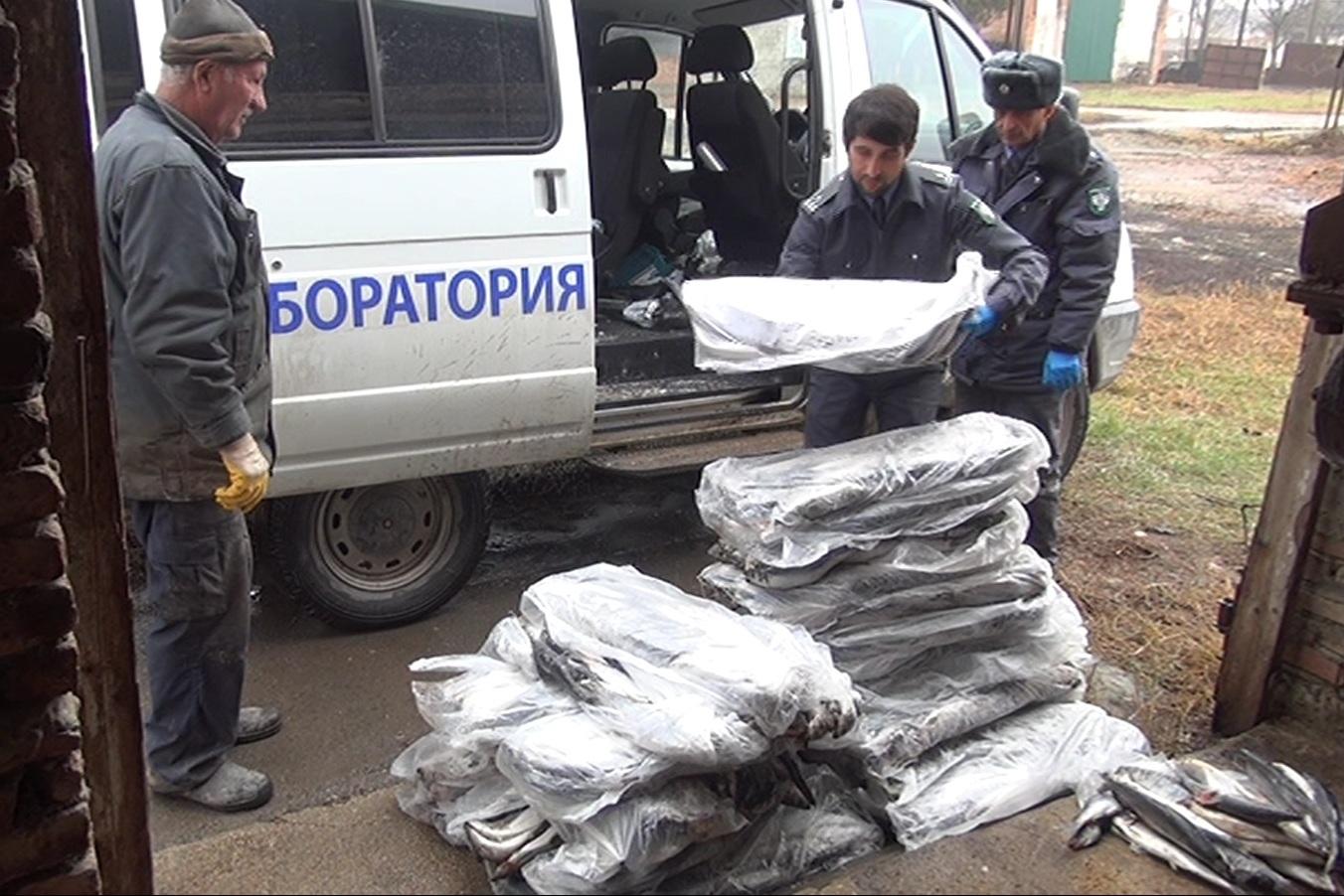 В Дагестане уничтожено 800 килограммов санкционной рыбы