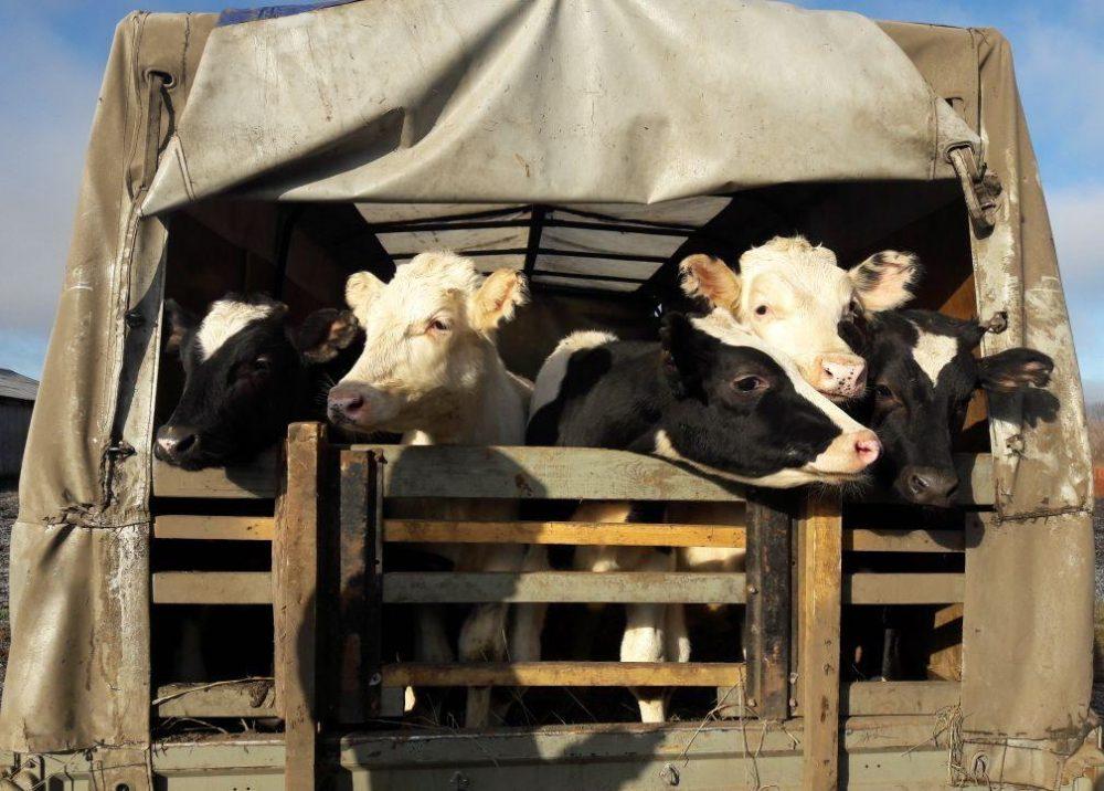 В Тарумовском районе задержаны похитители грузовика со скотом