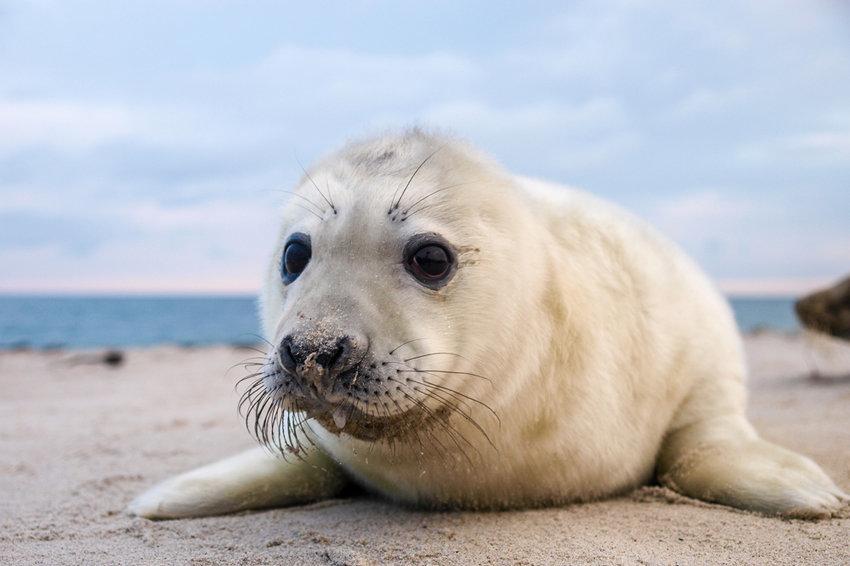 В Дагестане откроется центр по спасению каспийского тюленя