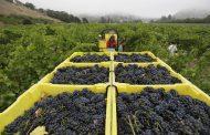 В 2018 году в Дербентском районе собрали более 50 тысяч тонн винограда