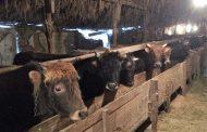 В Гунибском районе Дагестана зафиксирован случай бешенства животных