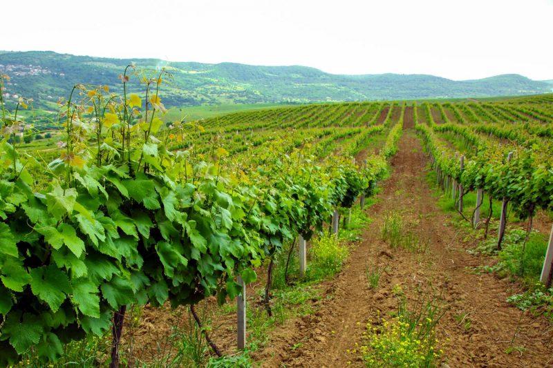 В 2018 году в Дагестане заложили тысячу гектаров виноградников