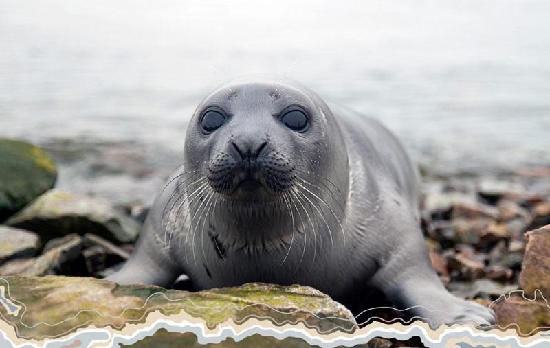 Каспийский тюлень внесен в Красную книгу Дагестана