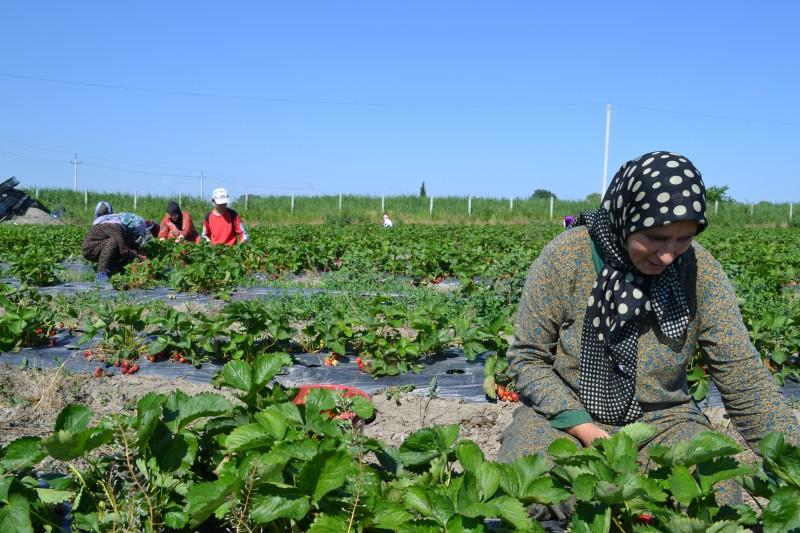 Фермеры Дагестана собирают урожай клубники
