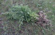 Более двух десятков очагов дикорастущей конопли уничтожены на юге Дагестана