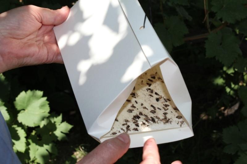 Россельхознадзор в Дагестане расставил ловушки для опасных вредителей