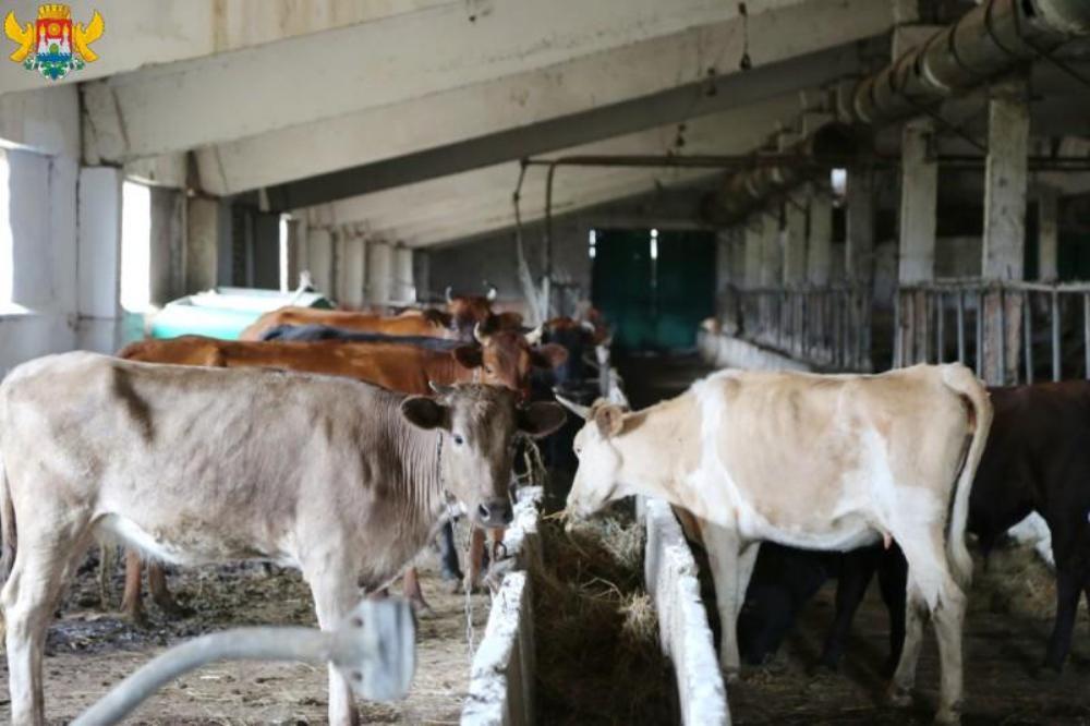 Власти Махачкалы начали отлов безнадзорных коров