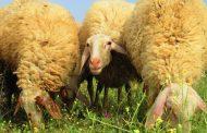 Дагестанские студенты планируют производить деликатесный овечий сыр
