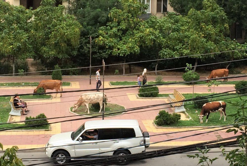 Хозяева коров, разгуливающих по Махачкале, начали платить штрафы