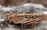 Ликвидирован очаг мигрирующей саранчи