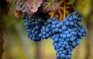 В Дагестане в течение пяти лет планируют удвоить урожай винограда
