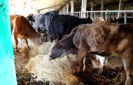 В Махачкале совершено новое нападение на сторожа штрафстоянки для безнадзорных коров
