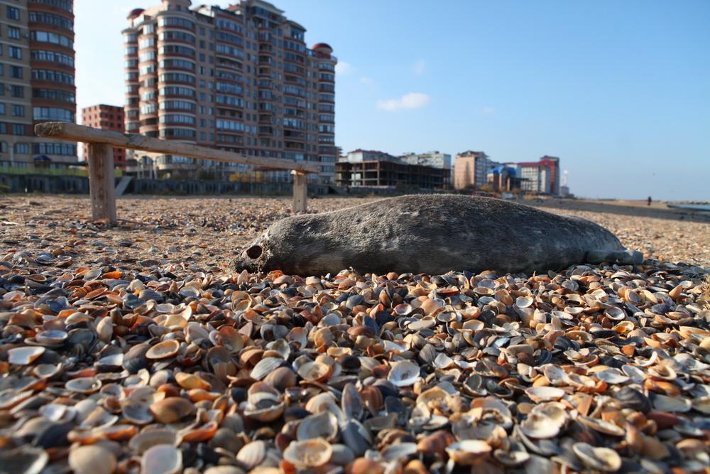 Власти Дагестана держат на контроле ситуацию с гибелью каспийских тюленей