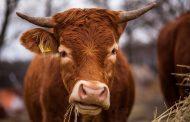 В Левашинском районе задержан подозреваемый в краже более 60 голов скота