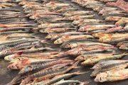 В Дагестане браконьеры ответят перед судом за вылов более тонны краснокнижной рыбы