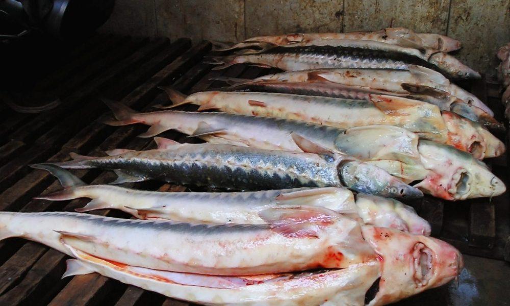 В Дагестане задержали браконьеров с 300 килограммами русского осетра
