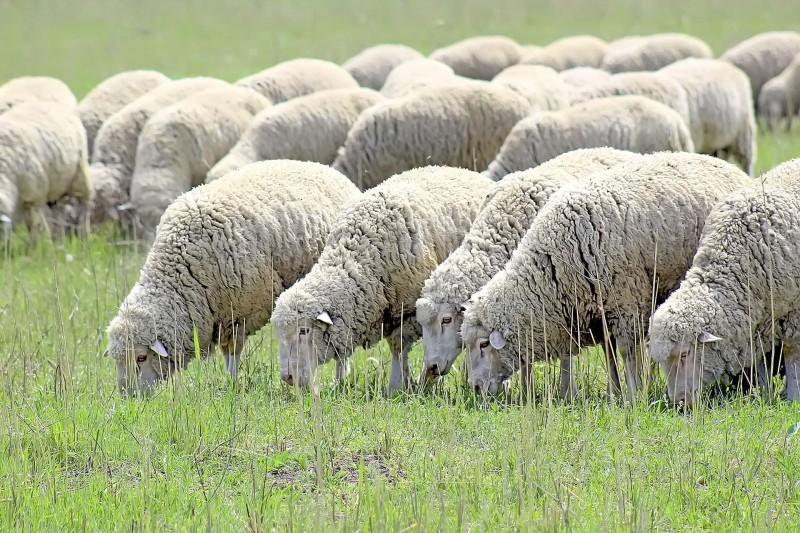 Беларусь заинтересовалась элитным поголовьем овец Дагестана