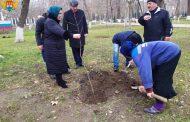 В парке им. Ленинского комсомола в Махачкале посадили клены