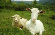 В Дагестане планируется увеличить поголовье овец и коз до 5 млн